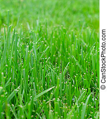 Mowed Lawn - A close up of a mowed lawn taken at worms-eye...