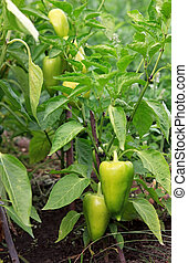Capsicum annuum on the bush