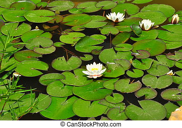 lily pad 1252 - a lily pads floating in the middle of a pond