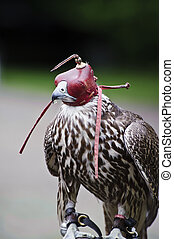 Hooded Gyr falcon during falconry display - Falconry show...