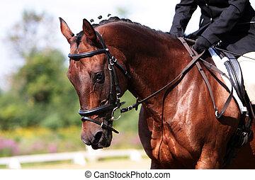 retrato, bahía, caballo