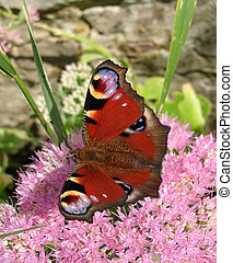 Peacock butterfly - Colorful European peacock butterfly...