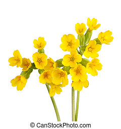 Cowslip flowers isolated on white