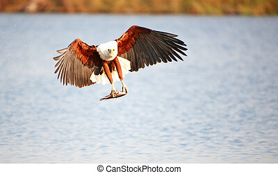 African Fish Eagle Haliaeetus vocifer in flight with fish in...