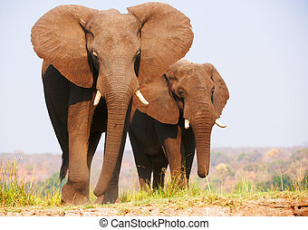 Herd of African elephants Loxodonta Africana standing in...