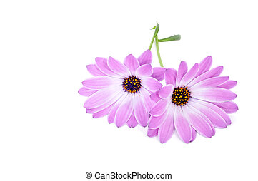 gerbera daisies - some gerbera daisies on a white background