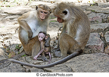 Toque macaque family - A family of Toque Macaques in...