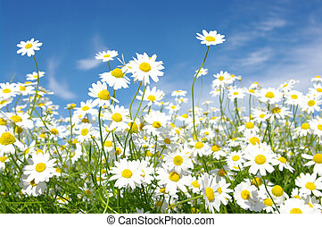daisies - white daisies on blue sky background