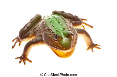 2789 Frog isolated61jpg - Big frog close-up, front view,...