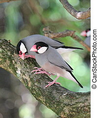 Java padda birds - Two java padda colored birds on the...