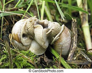 Helix pomatia mating - Burgundy snail, Helix pomatia,...