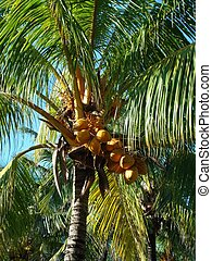 Palm tree in Mauritius Island - Palm tree with coconuts in...