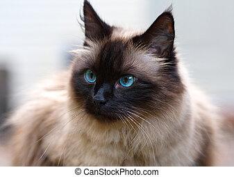 Cat Portrait - Seal point domestic cat portrait, front view