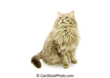 cat  - domestic cat isolated on a white background