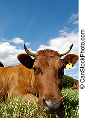 Cow face - Face of a resting cow on a green field.
