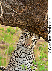 leopard scent marking - adult male leopard scent marking his...