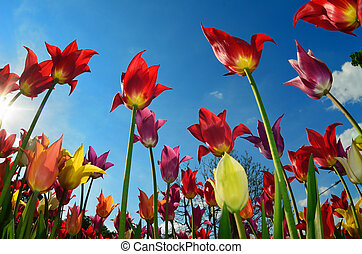 Field of tulips - Bright beautiful tulips of different...
