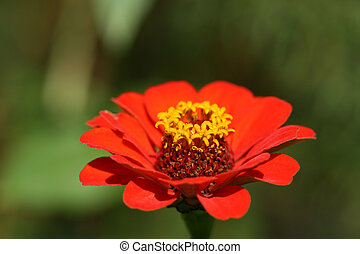 Red flower Zinnia