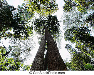 Trees view - Ground view of two entangled tree in a tropical...