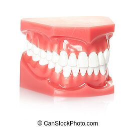 Teeth - Healthy white human teeth anatomical model....