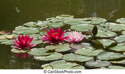 Red lilies - Beautiful lilies grow in a small pond.