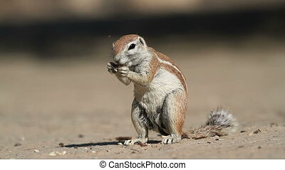 Feeding gound squirrel - Ground squirrel (Xerus inaurus)...
