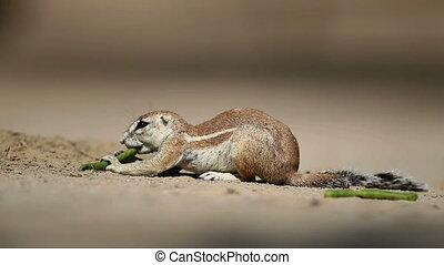 Feeding gound squirrel - Ground squirrel Xerus inaurus...
