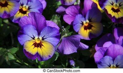 Purple Pansies Loop - Beautiful and colorful pansies of...