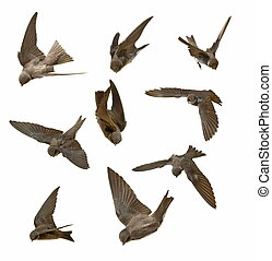 swallows in flight isolated on whit - Set Sand Martin,...