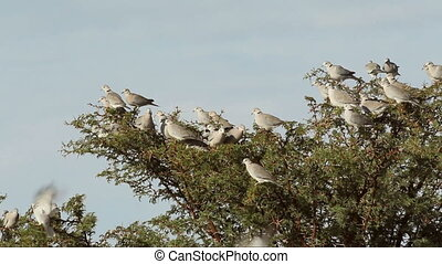 Cape turtle doves Streptopelia capicola sitting in a swaying...