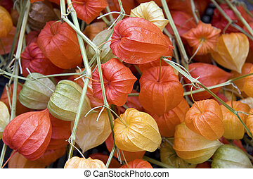 Chinese lantern flowers - A background of bright Chinese...