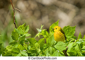 Yellow Warbler Dendroica petechia perched among bright green...