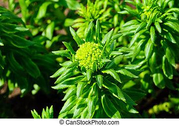 Rhodiola rosea - medicinal plant Rhodiola rosea gold root in...