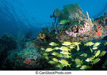 escuela, francés, Gruñidos, repisa, arrecife, debajo