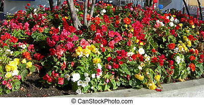 Fower bed with Begonias - Colorful flower bed with Begonias...