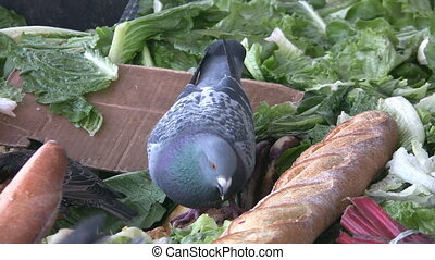 Pigeon eating - A pigeon pecking at bread in a compost bin...