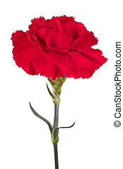 Beautiful red carnation on a white background