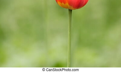 Two red tulips on wind