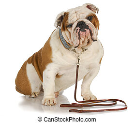 dog on a leash - english bulldog sitting wearing leash and...