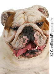 dirty dog - happy english bulldog with dirty muddy face...