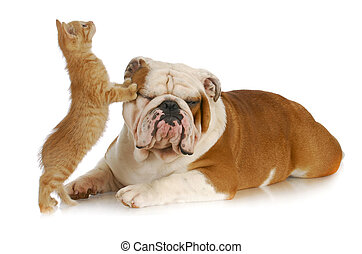 cat and dog - kitten climbing on english bulldog with...