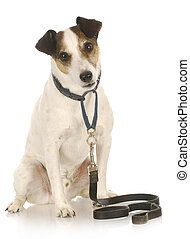 dog on a leash - jack russel terrier waiting to go for a...