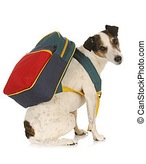 dog school - jack russel terrier wearing backpack on white...
