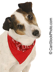 cute dog - jack russel terrier wearing red bandanna on white...