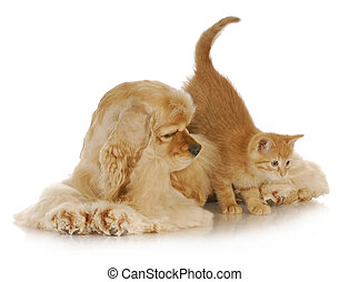 dog and cat - kitten jumping off american cocker spaniel on...
