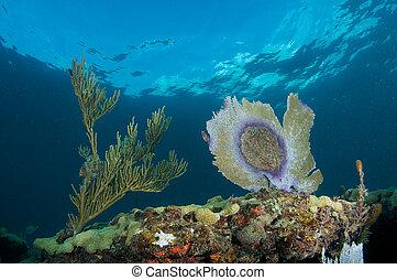 mar, ventilador, enfermedad, arrecife, sur, este, Florida