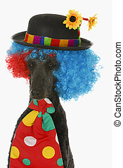 dog clown - standard poodle wearing clown wig, hat and tie...