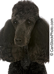standard poodle portrait - black male champion on white...