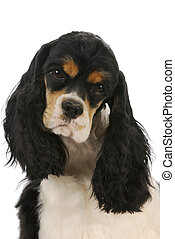 cocker spaniel head portrait - parti-colour female champion...