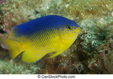 Juvenile Coca Damselfish, picture taken in south east...
